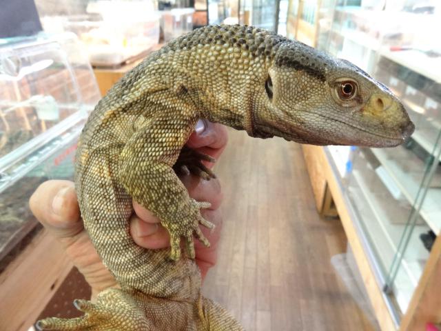 アフリカン ロック モニター アフリカン ロック モニター アフリカンロックモニター!爬虫類・トカゲの基本知識と飼育方法